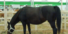 حصان Altwurttemberg