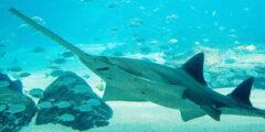 حقائق ومعلومات مثيرة عن سمك المنشار