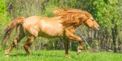 خيول الباشكيرية الأمريكية