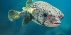 وصف ومعلومات عن السمكة المنتفخة
