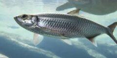 وصف ومعلومات عن سمك الرنجة (Herring)