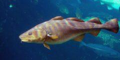 وصف ومعلومات عن سمك القد