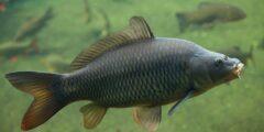 وصف ومعلومات عن سمك الكارب (الشبوط)