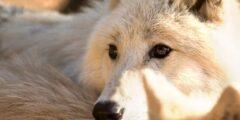 كل ما يخص ذئب القطب الشمالي