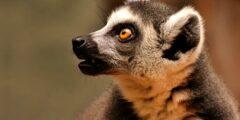 معلومات عن حيوان الليمور