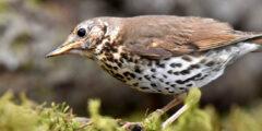 سمنة مطربة : طائر مع أغنية معقدة للغاية