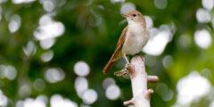 العندليب : الطائر ذو الأغنية الرخيمة والغنية