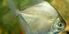 سمك الدولار الفضي : الوصف والنظام الغذائي والتكاثر