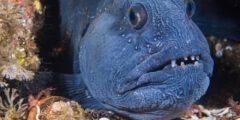 معلومات وحقائق عن سمك الذئب