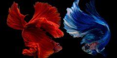 معلومات وحقائق مثيرة عن أسماك السيامي المقاتلة