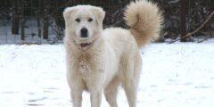 وصف ومعلومات عن كلب أكباش