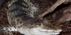 التمساح الفلبيني : الموطن والنظام الغذائي والسلوك