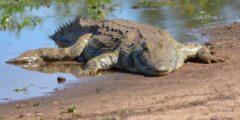معلومات وحقائق عن تمساح النيل